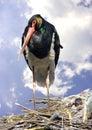 Black stork bird beak feathering nest red book neck zoo ritual migration Stock Photography