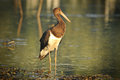 Black Stork catch fish in the old bed of the Tisza Stock Images