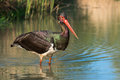 Black stork ciconia nigra a Royalty Free Stock Photography