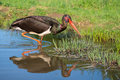 Black stork ciconia nigra a Royalty Free Stock Images