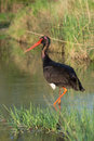 Black stork ciconia nigra a Stock Photography