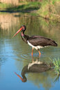 Black stork ciconia nigra a Stock Photos