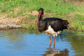 Black stork ciconia nigra a Royalty Free Stock Photo