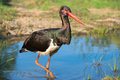 Black stork ciconia nigra a Stock Photo