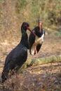 Black Stork Royalty Free Stock Photo