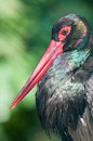 Black stork natura viva park verona italy Royalty Free Stock Photo
