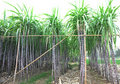 Black sugarcane in rows Stock Photos