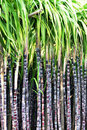 Black sugarcane stalks Royalty Free Stock Image