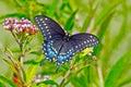 Čierny lastovičie chvost motýľ