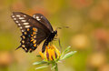 Black swallowtail butterfly feeding on a black eyed susan flower against summer garden background Stock Images
