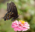 Black Swallowtail butterfly feeding on pink Zinnia Royalty Free Stock Image
