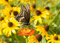 Black swallowtail butterfly on red zinnia with yellow eyed susan flowers the background Royalty Free Stock Images