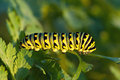 Black swallowtail larva a caterpillar feeds on a plant Stock Images