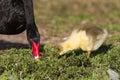 Black swan adult and chick forage along shoreline of lake morton in lakeland florida Stock Images