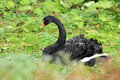 Black swan the adult sitting in the grass Stock Photography