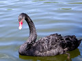 Black swan beautiful close up Stock Photography