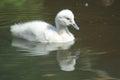 Black swan chick Royalty Free Stock Photos