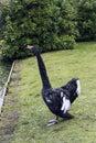 Black swan at Claremont Landscape Garden, Surrey, UK