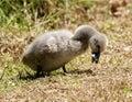 Black Swan Cygnet Royalty Free Stock Photo
