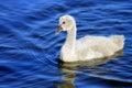 Black swan cygnet close up of single Stock Photo