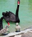 Black swan and cygnet at lake Royalty Free Stock Photo