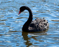 Black swan, Cygnus atratus Royalty Free Stock Photo