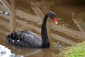 Black Swan (Cygnus atratus) Royalty Free Stock Images