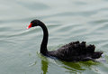 Black Swan (Cygnus atratus) Royalty Free Stock Photos