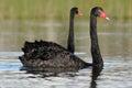 Black swan cygnus atratus australian on a lake Stock Images