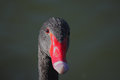 Black swan cygnus atratus close up Stock Photography