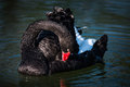 Black swan cygnus atratus close up of Royalty Free Stock Photos