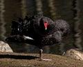 The black swan cygnus atratus closeup in morning sun Royalty Free Stock Image