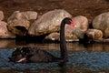 The black swan cygnus atratus closeup in morning sun Stock Photography