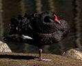 The black swan cygnus atratus closeup in morning sun Stock Photo