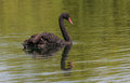 The black swan cygnus atratus at lake mcgregor canterbery south island new zealand Royalty Free Stock Image