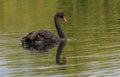 The black swan cygnus atratus at lake mcgregor canterbery south island new zealand Royalty Free Stock Image