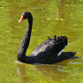 Black swan cygnus atratus the is a large waterbird a species of which breeds mainly in the southeast and southwest regions of Stock Photos