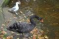 The black swan cygnus atratus latham and seagull stand on the coast of an autumn pond park Stock Photo