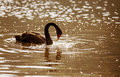 Black swan cygnus atratus in the park at pang ung north of thailand Stock Photo