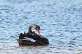 Black swan cygnus atratus swimming on lake king in lakes entrance victoria australia Stock Photography