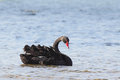 Black swan cygnus atratus swimming at the shore of lake king in lakes entrance victoria australia Stock Photography