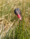 Black swan is eating grass only head is showing above the grass Royalty Free Stock Photos