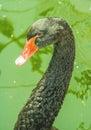 Black Swan Face  Portrait