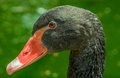 Black Swan Face  Portrait&#x28...