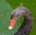 Black Swan Face  Portrait &#x2...
