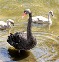 Black Swan family Stock Photos
