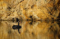 Black swan on gold water and riverbank swims golden reflecting clay Royalty Free Stock Photography