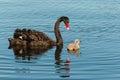 Black swan guarding cygnet on lake Stock Images