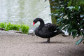 Black swan by the lake Stock Photo