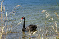 Black swan a on lake tarawera near rororua north island new zealand Royalty Free Stock Images